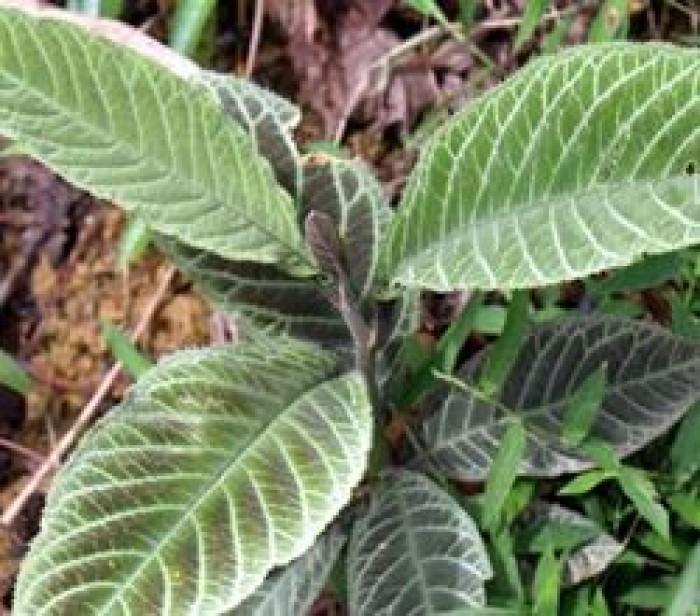Cây dược liệu, cây khôi nhung số lượng lớn, khôi nhung tía3