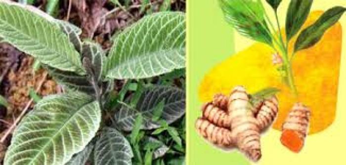Cây dược liệu, cây khôi nhung số lượng lớn, khôi nhung tía4