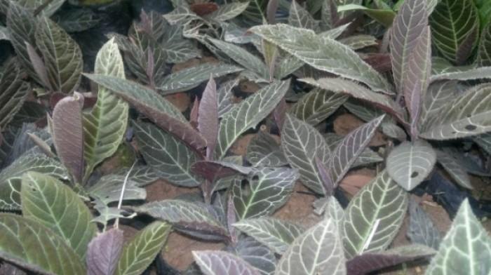Cây dược liệu, cây khôi nhung số lượng lớn, khôi nhung tía1