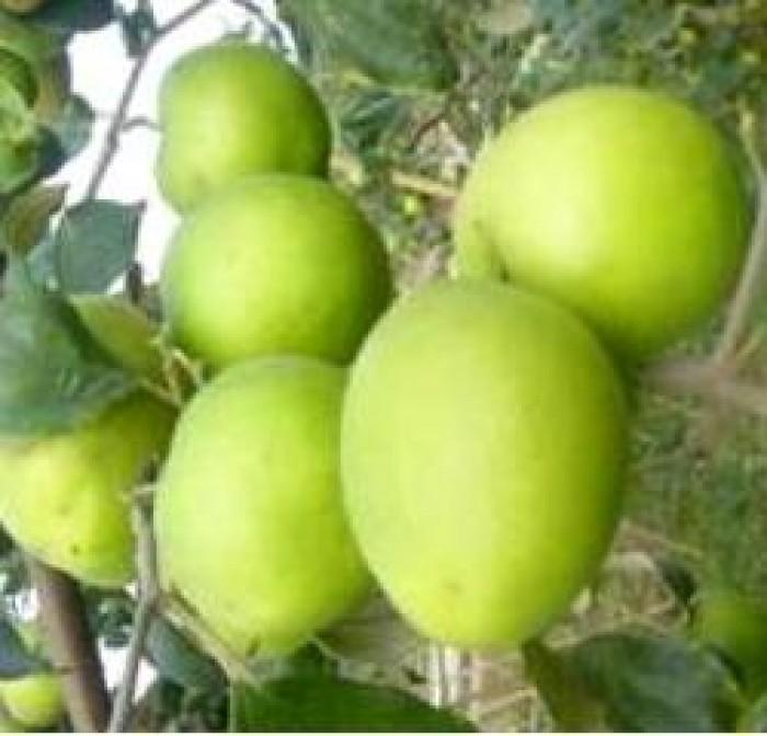 Địa chỉ cung cấp cây giống chất lượng, giống cây táo t5 số lượng lớn, giao cây toàn quốc3
