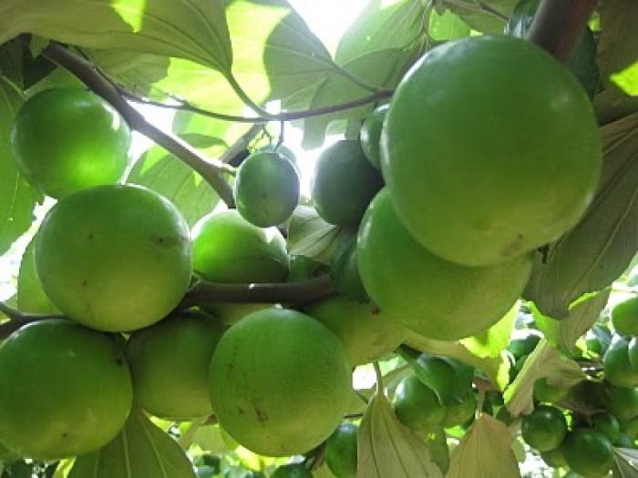Địa chỉ cung cấp cây giống chất lượng, giống cây táo t5 số lượng lớn, giao cây toàn quốc4