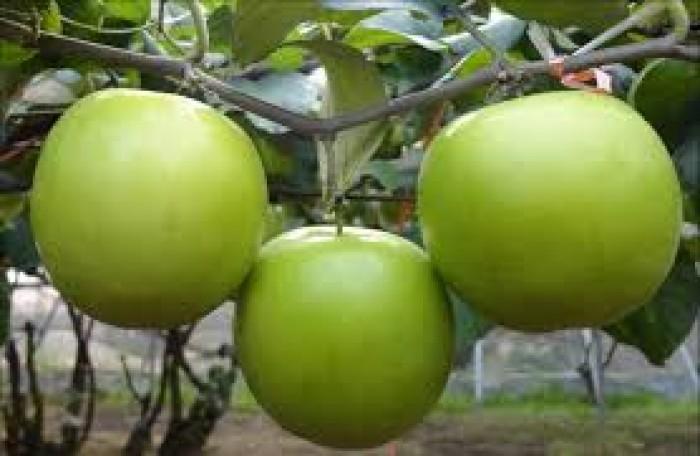 Địa chỉ cung cấp cây giống chất lượng, giống cây táo t5 số lượng lớn, giao cây toàn quốc2