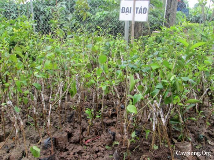 Địa chỉ cung cấp cây giống chất lượng, giống cây táo t5 số lượng lớn, giao cây toàn quốc1