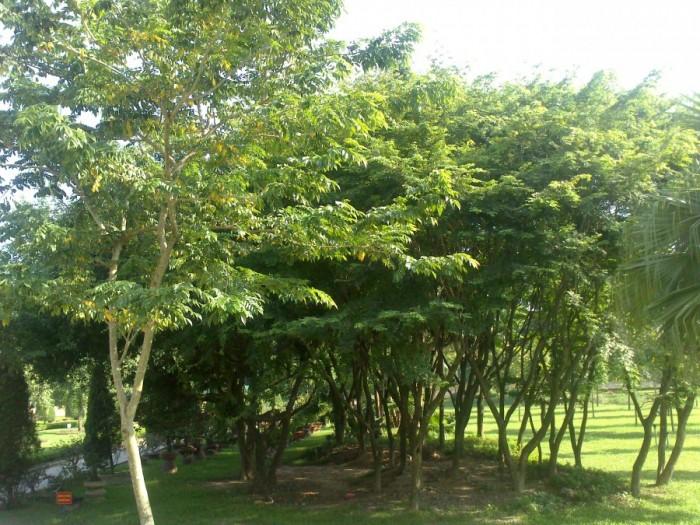 Địa chỉ cung cấp giống cây sưa đỏ số lượng lớn1