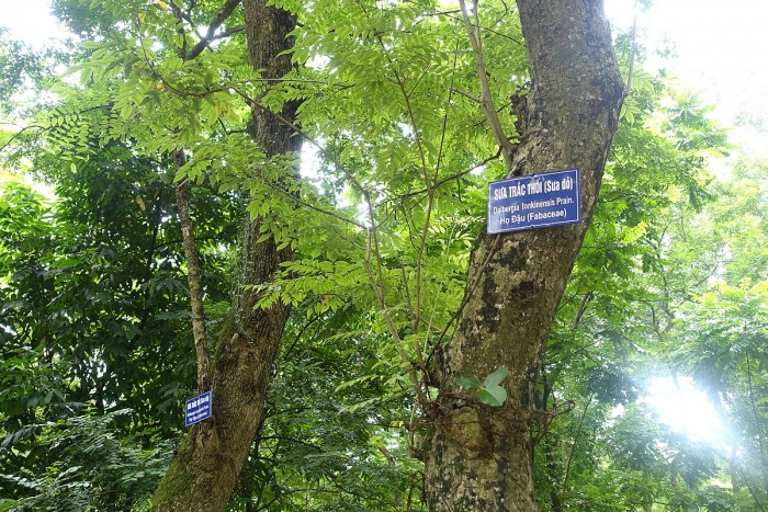 Địa chỉ cung cấp giống cây sưa đỏ số lượng lớn2