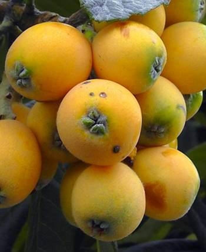 Địa chỉ cung cấp giống cây nhập khẩu, giống cây biwa, cây mận nhật số lượng lớn1