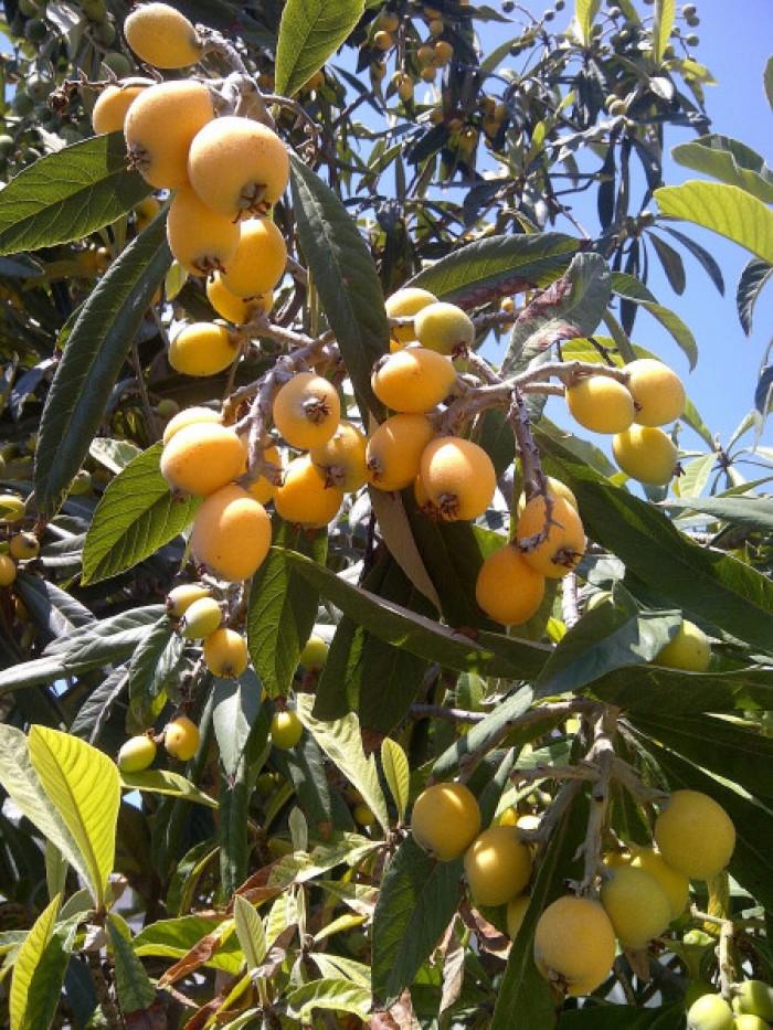 Địa chỉ cung cấp giống cây nhập khẩu, giống cây biwa, cây mận nhật số lượng lớn0