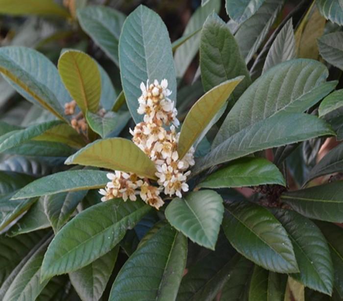 Địa chỉ cung cấp giống cây nhập khẩu, giống cây biwa, cây mận nhật số lượng lớn2
