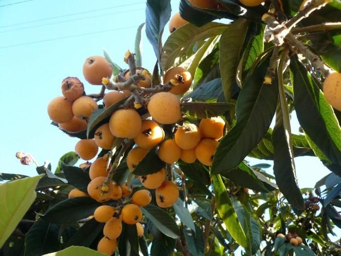 Địa chỉ cung cấp giống cây nhập khẩu, giống cây biwa, cây mận nhật số lượng lớn5