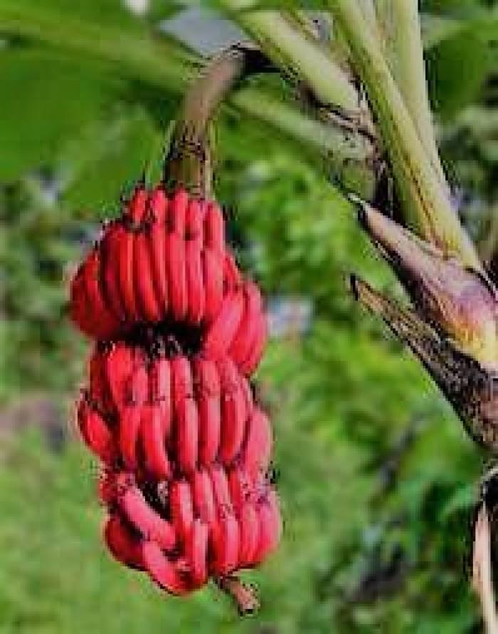 giống cây chuối đỏ1