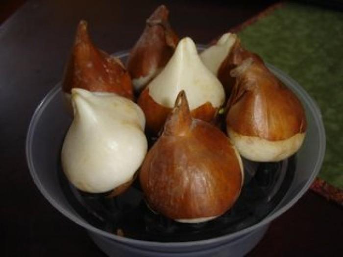 Cung cấp củ giống hoa tulip Hà Lan, hoa tulip, số lượng lớn, cam kết chất lượng, giao hàng toàn quốc2