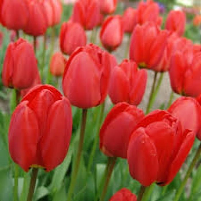 Cung cấp củ giống hoa tulip Hà Lan, hoa tulip, số lượng lớn, cam kết chất lượng, giao hàng toàn quốc4