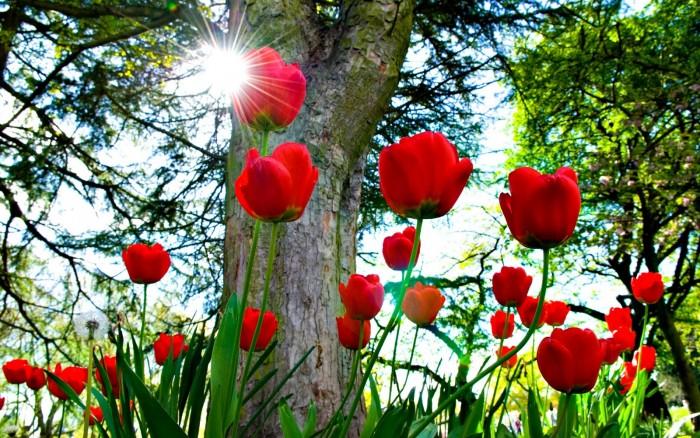 Cung cấp củ giống hoa tulip Hà Lan, hoa tulip, số lượng lớn, cam kết chất lượng, giao hàng toàn quốc3
