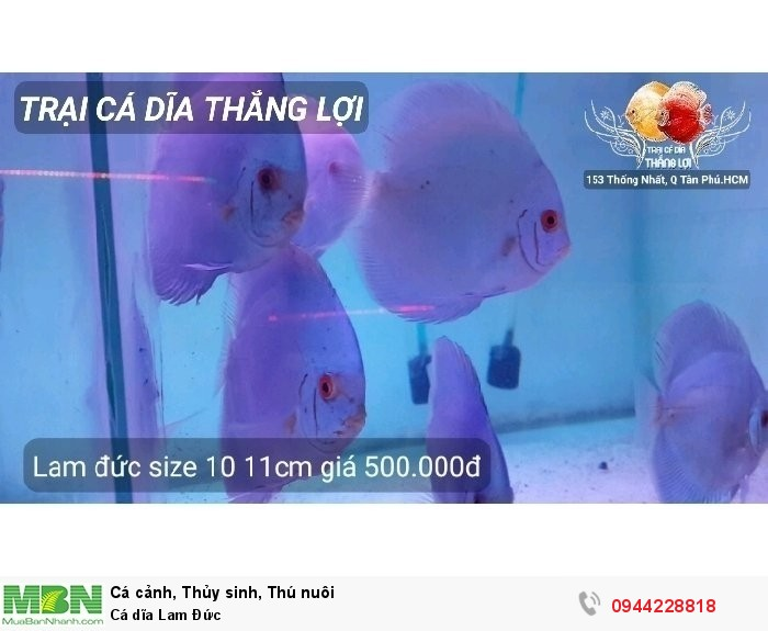 Cá dĩa Lam Đức2
