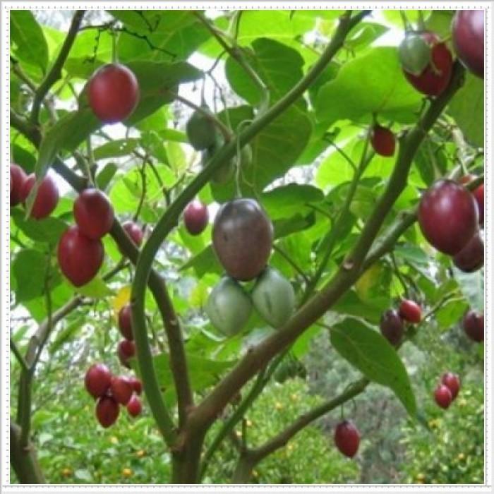 Địa chỉ cung cấp giống cây cà chua thân gỗ uy tín, chất lượng9