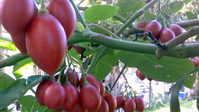Địa chỉ cung cấp giống cây cà chua thân gỗ uy tín, chất lượng8