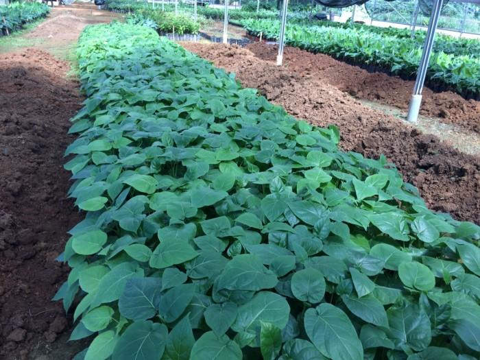 Địa chỉ cung cấp giống cây cà chua thân gỗ uy tín, chất lượng6