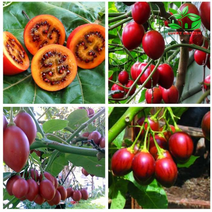 Địa chỉ cung cấp giống cây cà chua thân gỗ uy tín, chất lượng4