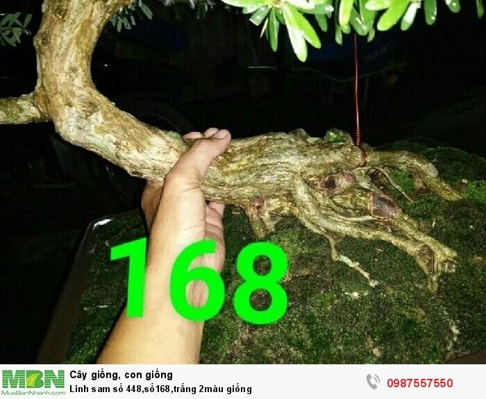 Linh sam số 448,số168,trắng 2màu giống