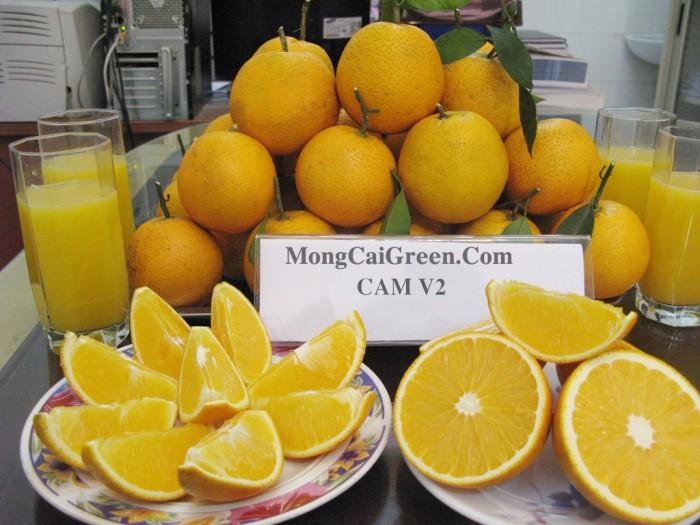 Giống cam vinh, cam v21