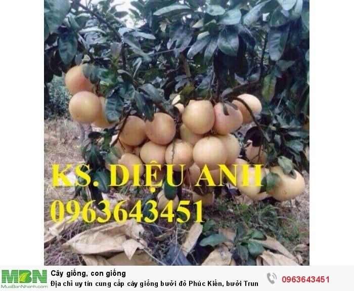 Địa chỉ uy tín cung cấp cây giống bưởi đỏ Phúc Kiến, bưởi Trung Quốc, #bưởi_đỏ_phúc_kiến3