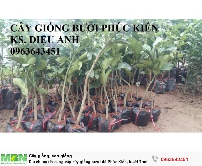 Địa chỉ uy tín cung cấp cây giống bưởi đỏ Phúc Kiến, bưởi Trung Quốc, #bưởi_đỏ_phúc_kiến8