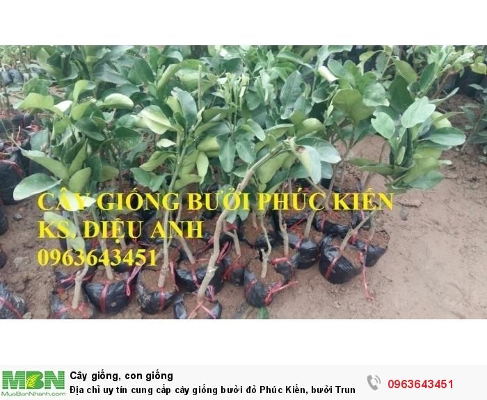Địa chỉ uy tín cung cấp cây giống bưởi đỏ Phúc Kiến, bưởi Trung Quốc, #bưởi_đỏ_phúc_kiến9