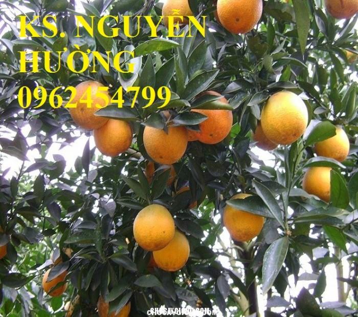 Bán giống cây cam sớm, cam c36, giống cam c361