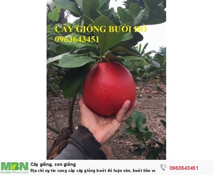 Địa chỉ uy tín cung cấp cây giống bưởi đỏ luận văn, bưởi tiến vua chuẩn, #Bưởi_đỏ_tiến_vua4