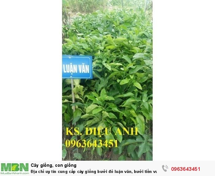 Địa chỉ uy tín cung cấp cây giống bưởi đỏ luận văn, bưởi tiến vua chuẩn, #Bưởi_đỏ_tiến_vua9