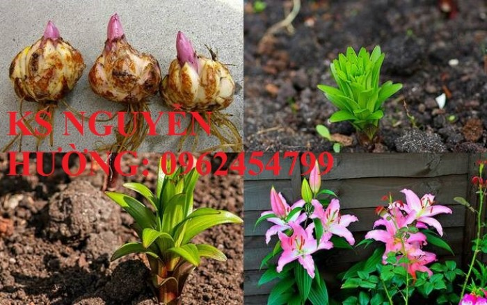 Cung cấp củ giống hoa ly lùn trồng tết - cách chăm sóc củ hoa ly5