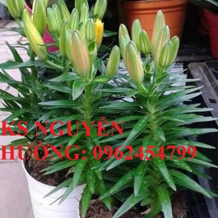 Cung cấp củ giống hoa ly lùn trồng tết - cách chăm sóc củ hoa ly3
