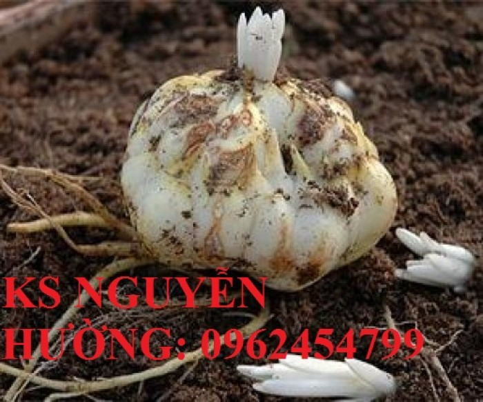 Cung cấp củ giống hoa ly lùn trồng tết - cách chăm sóc củ hoa ly4