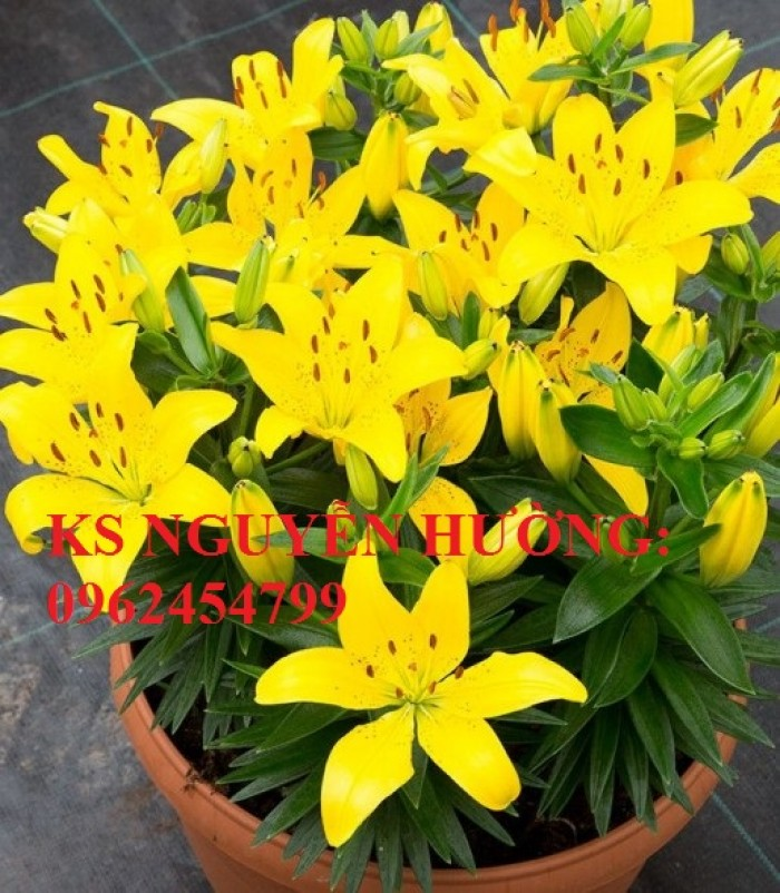 Cung cấp củ giống hoa ly lùn trồng tết - cách chăm sóc củ hoa ly2