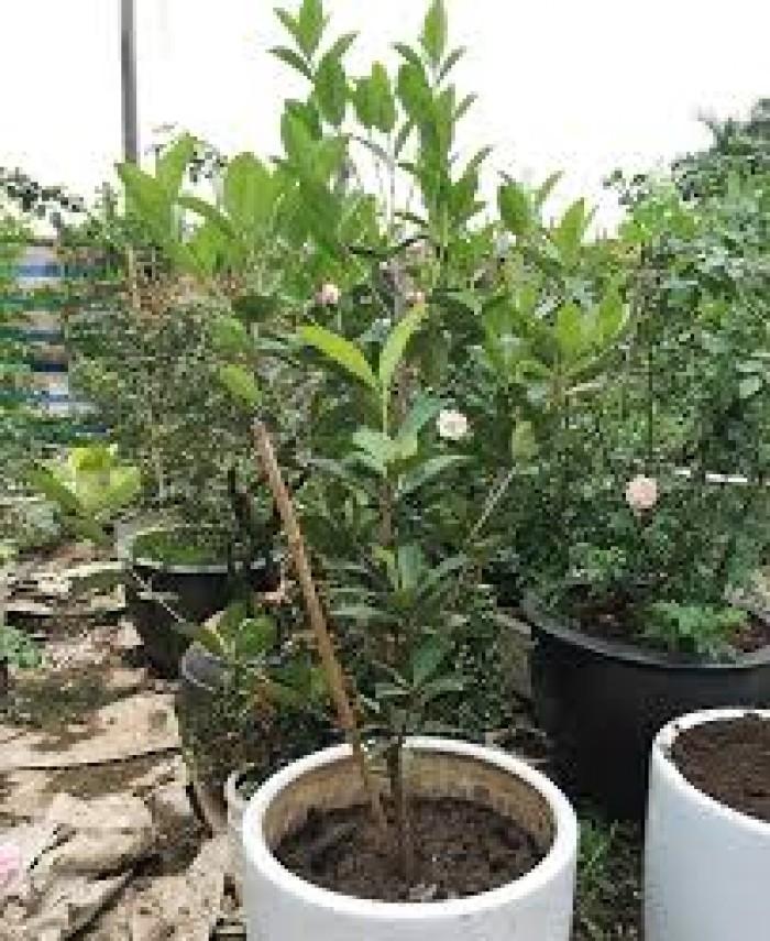 Giống cây nhập khẩu cherry brazil, cherry nhiệt đới0