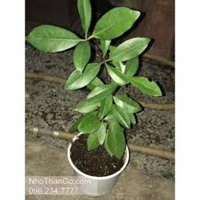 Giống cây nhập khẩu cherry brazil, cherry nhiệt đới2