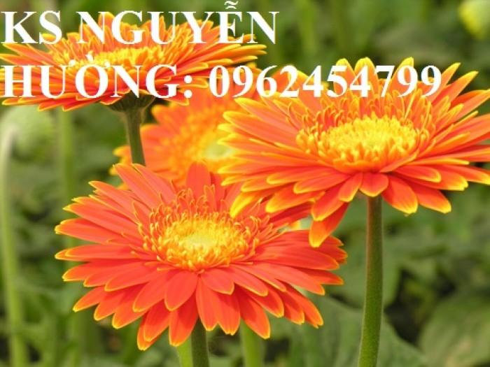 Bán giống hoa đồng tiền trồng Tết7