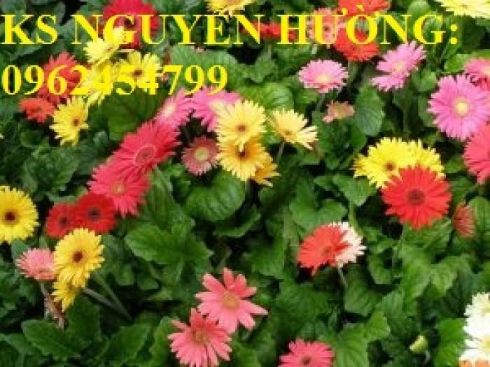 Bán giống hoa đồng tiền trồng Tết6
