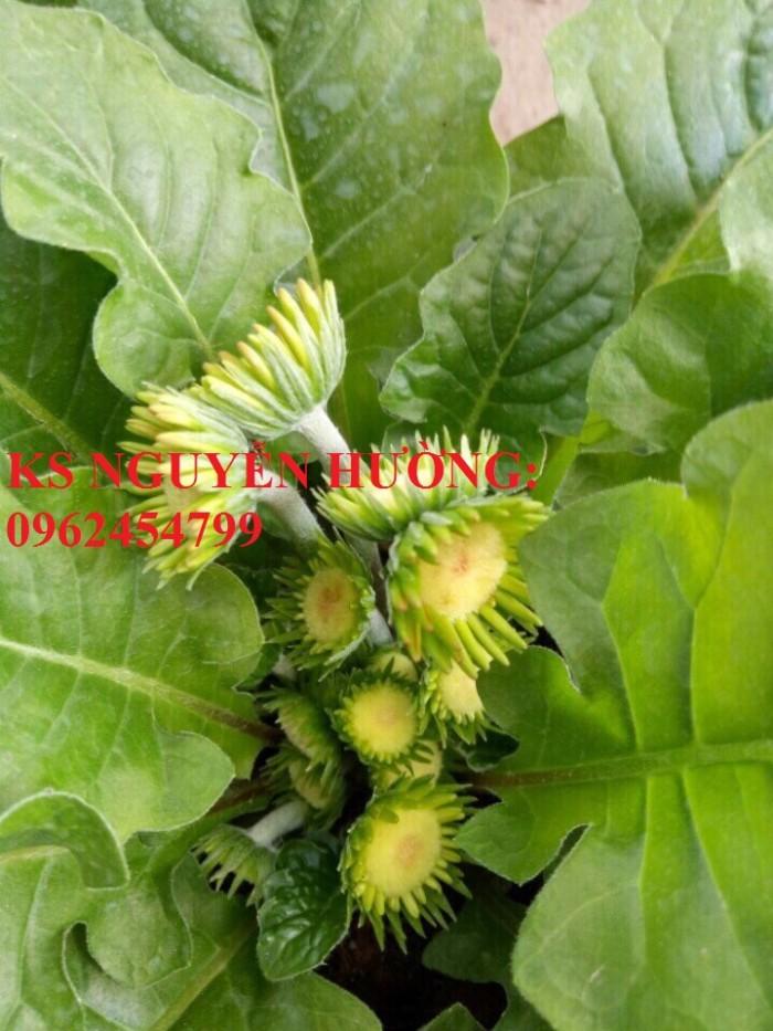 Bán giống hoa đồng tiền trồng Tết3