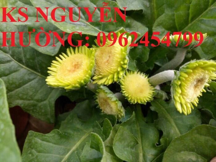 Bán giống hoa đồng tiền trồng Tết4