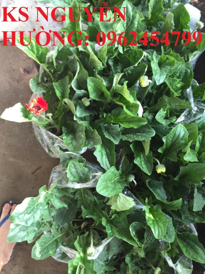 Bán giống hoa đồng tiền trồng Tết2