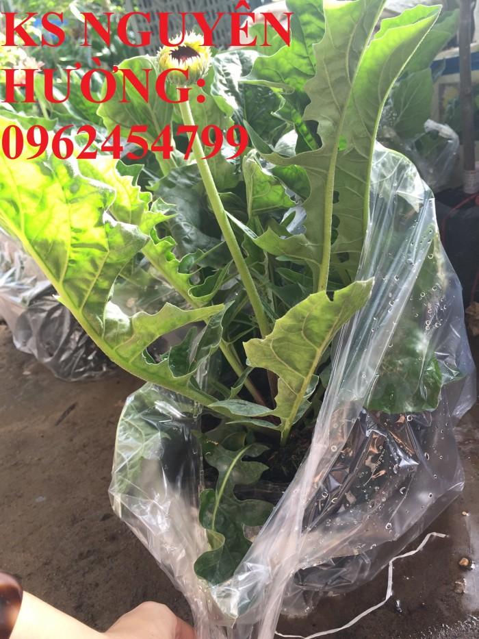 Bán giống hoa đồng tiền trồng Tết1