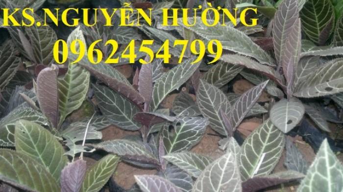 Địa chỉ bán giống cây dược liệu, cây khôi nhung, lá khôi nhung chữa bệnh7