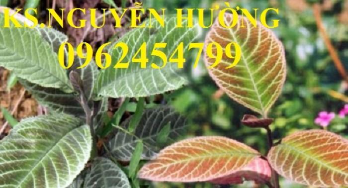 Địa chỉ bán giống cây dược liệu, cây khôi nhung, lá khôi nhung chữa bệnh6