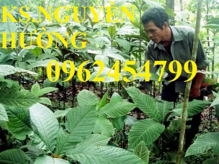Địa chỉ bán giống cây dược liệu, cây khôi nhung, lá khôi nhung chữa bệnh3