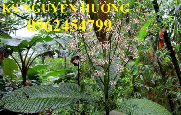 Địa chỉ bán giống cây dược liệu, cây khôi nhung, lá khôi nhung chữa bệnh5