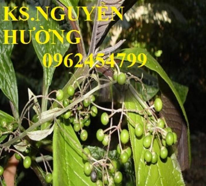 Địa chỉ bán giống cây dược liệu, cây khôi nhung, lá khôi nhung chữa bệnh4