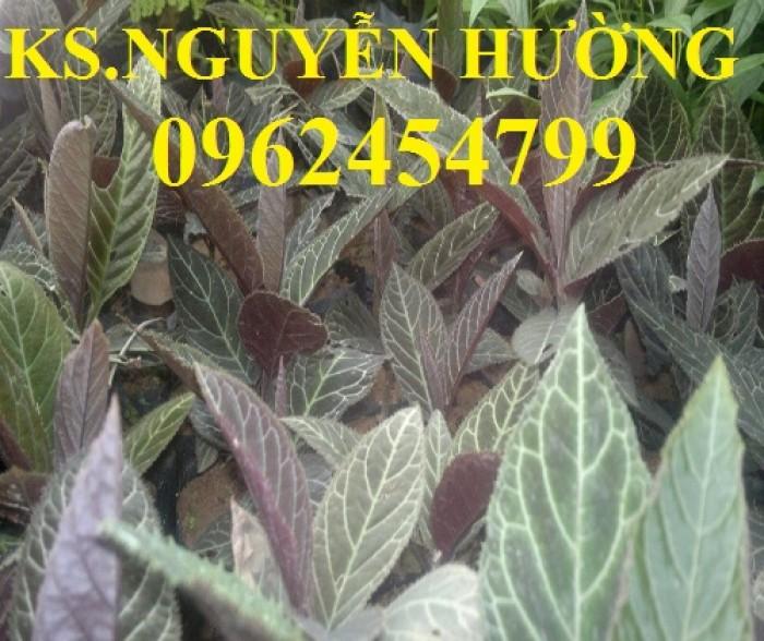 Địa chỉ bán giống cây dược liệu, cây khôi nhung, lá khôi nhung chữa bệnh1