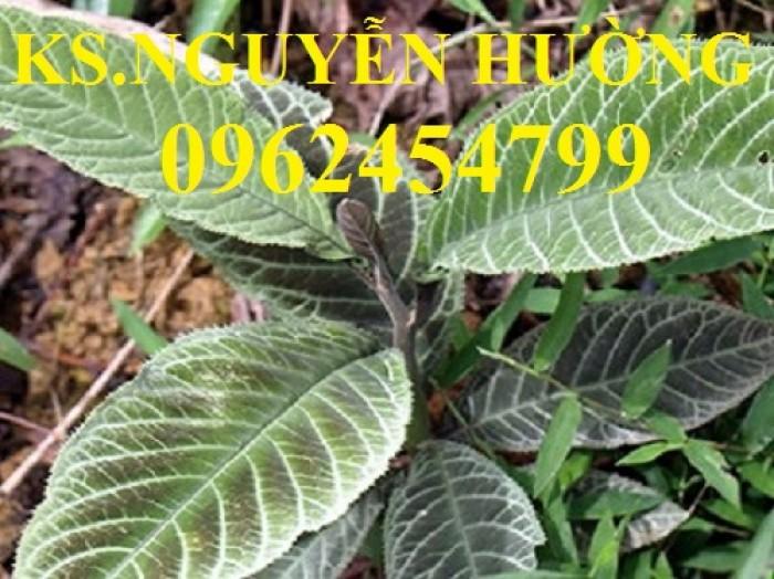 Địa chỉ bán giống cây dược liệu, cây khôi nhung, lá khôi nhung chữa bệnh2