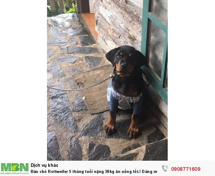 Bán chó Rottweiler 5 tháng tuổi nặng 30kg ăn uống tốt.! Dáng mặt đẹp, hiền.2